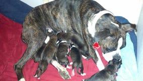 Strimmig boxare med hennes nyfödda valpar Royaltyfri Bild