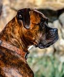 Strimmig boxarehund royaltyfria bilder