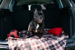 Strimmig fransk bulldogg som sitter i stammen av en bil på en pläd med en röd boll och en kudde i soligt väder som reser med arkivfoto