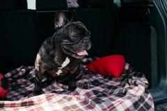 Strimmig fransk bulldogg som sitter i stammen av en bil på en pläd med en röd boll och en kudde i soligt väder som reser med royaltyfria bilder