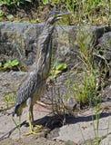 Strimmig häger eller mangrovehäger Arkivfoton