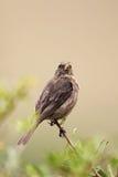 Strimmig-hövdad fröätare (Serinusgularis) Arkivbilder