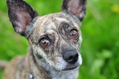 Strimmig hund som stirrar på kameran Arkivfoto