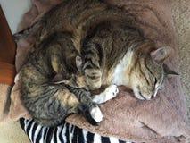 Strimmig katt och sköldpaddsskal Cat Siblings fotografering för bildbyråer