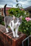 Strimmig katt och vitkatt på porten av en trädgård Fotografering för Bildbyråer