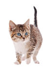Strimmig katt och vitkattunge Fotografering för Bildbyråer