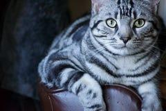 Strimmig katt som är slö på lat pojke Royaltyfria Bilder