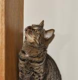 Strimmig katt som ser i förväntan fotografering för bildbyråer
