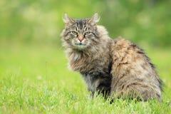 Strimmig kattkatt Arkivbild