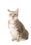 Strimmig kattkatt Arkivfoto
