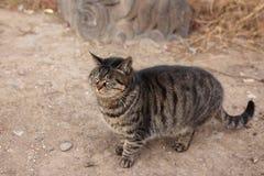 Strimmig kattkatt Arkivfoton