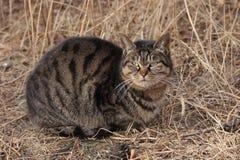 Strimmig kattkatt Royaltyfri Bild