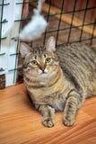 Strimmig kattkatt I Arkivbild