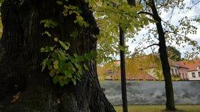 Strimmig kattkatt i enormt lindträd lager videofilmer