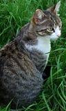 Strimmig kattkatt i gräset Arkivfoto