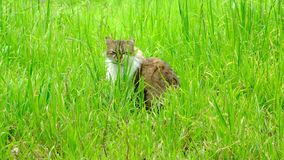 Strimmig kattkatt i högväxt grönt gräs lager videofilmer