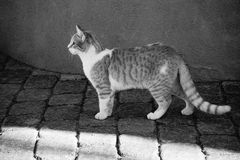 Strimmig kattkatt i svartvitt Fotografering för Bildbyråer