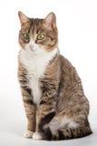 Strimmig kattkatt med gröna ögon på bakgrund royaltyfri foto