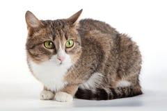Strimmig kattkatt med gröna ögon på bakgrund royaltyfri bild