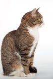 Strimmig kattkatt med gröna ögon på bakgrund royaltyfri fotografi