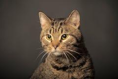 Strimmig kattkatt med gula ögon Arkivfoto