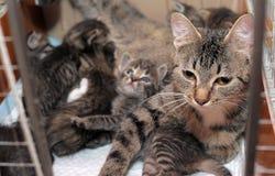 Strimmig kattkatt med kattungar Arkivbild