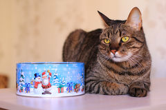 Strimmig kattkatt och närvarande ask Royaltyfri Foto