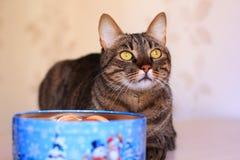 Strimmig kattkatt och närvarande ask Royaltyfri Bild