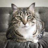 Strimmig kattkatt på den gråa soffan fotografering för bildbyråer