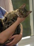 Strimmig kattkatt på händer Fotografering för Bildbyråer