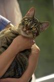 Strimmig kattkatt på händer Royaltyfria Bilder