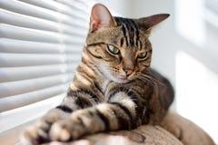 Strimmig kattkatt på lagledaren Arkivbilder