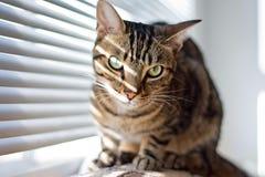 Strimmig kattkatt på lagledaren Arkivfoto
