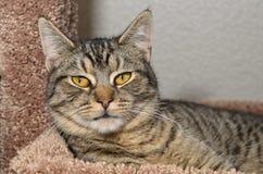 Strimmig kattkatt som lägger på mjuk brun säng Royaltyfri Fotografi
