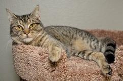 Strimmig kattkatt som lägger på mjuk brun säng Arkivfoto
