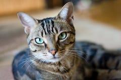 Strimmig kattkatt som ligger på golv Royaltyfri Foto