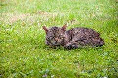 Strimmig kattkatt som ligger på grönt gräs Fotografering för Bildbyråer