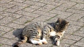 Strimmig kattkatt som ligger på kullersten på en lantgård arkivfilmer
