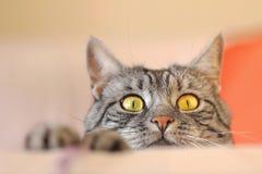 Strimmig kattkatt som lurar för mus Arkivbilder