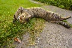 Strimmig kattkatt som ut sträcks Arkivfoto