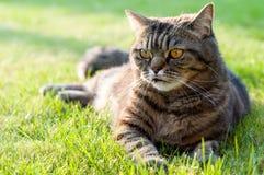 Strimmig kattkatt utomhus Royaltyfri Bild