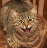 Strimmig kattkatten jamar royaltyfria foton