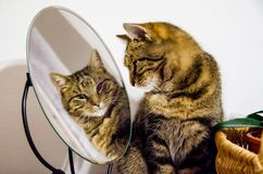 Strimmig kattkatten ser in i spegeln arkivfoton