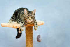 Strimmig kattkatten sitter på ett torn Arkivbilder