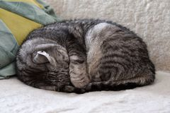 Strimmig kattkatten som sover på soffan som döljer hans huvud under dess, tafsar Royaltyfri Bild