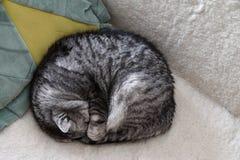 Strimmig kattkatten som sover på soffan som döljer hans huvud under dess, tafsar Arkivfoton