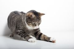 Strimmig kattkatten spelar med mat arkivfoton