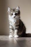 Strimmig kattkattunge överst av en tabell fotografering för bildbyråer