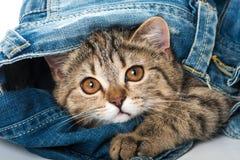 Strimmig kattkattunge med jeans royaltyfri bild