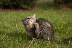 Strimmig kattkattunge på gräsmattan royaltyfria bilder